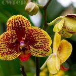 Второй Зимний фестиваль орхидей