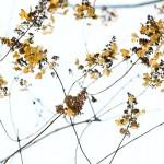 Аптекарский: зимний, морозный, живой