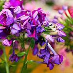 Цветок под названием флокс